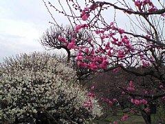大阪城の梅花
